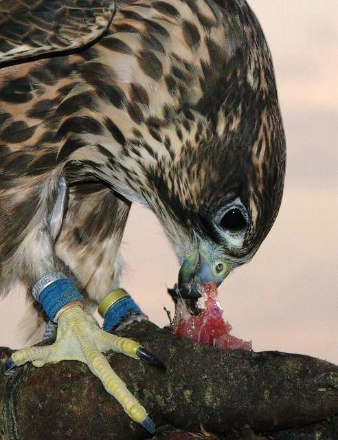 ハヤブサが鳥を食らう・・鷹狩(4)_c0067690_665591.jpg