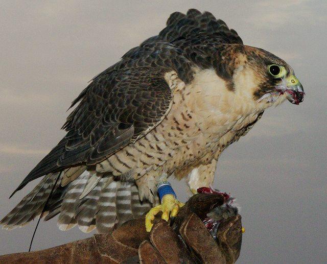 ハヤブサが鳥を食らう・・鷹狩(4)_c0067690_674329.jpg