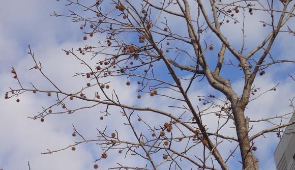 携帯電話で木の特徴を調べてみよう!_e0235911_1541489.jpg