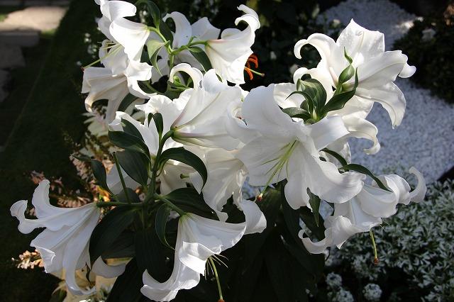 カサブランカ (植物)の画像 p1_27