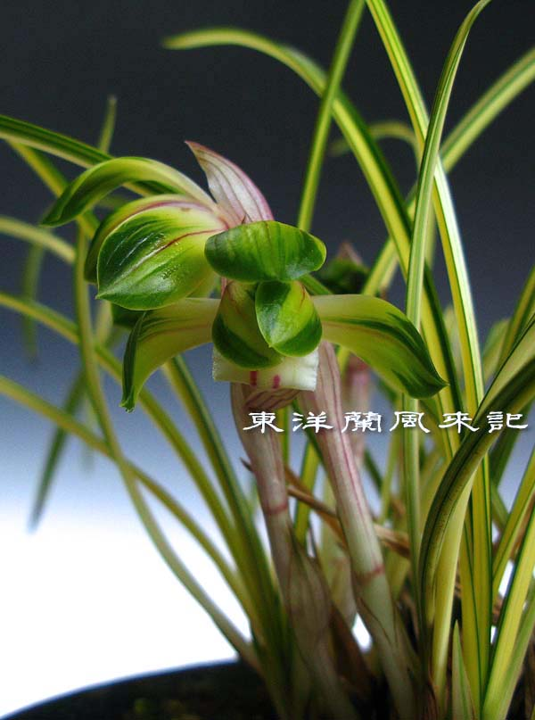 日本春蘭「綾の花」                No.428_b0034163_11291596.jpg