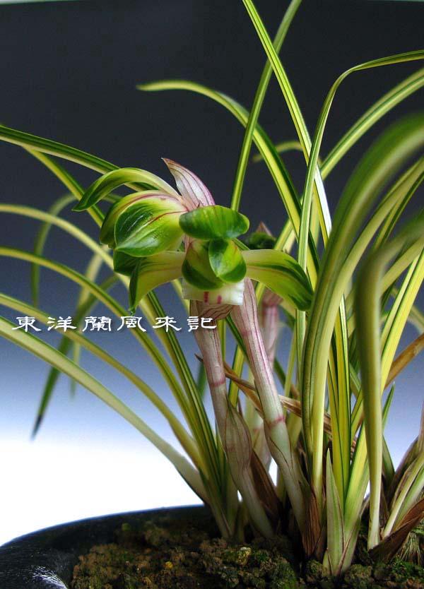 日本春蘭「綾の花」                No.428_b0034163_11292291.jpg