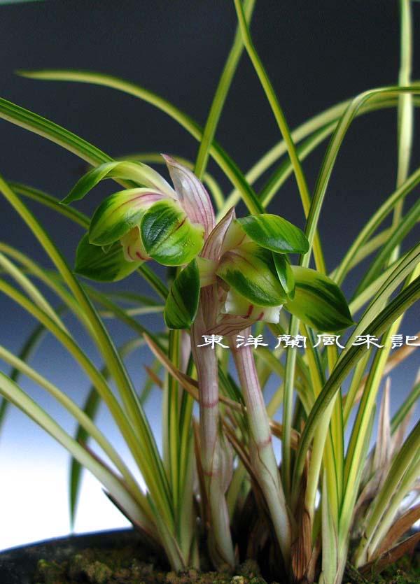 日本春蘭「綾の花」                No.428_b0034163_11293075.jpg