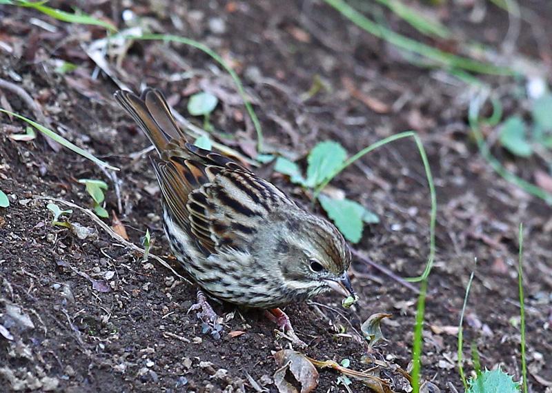 地面で餌を探す「アオジ♀さん」♪_d0195897_1492293.jpg