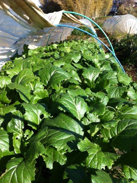 今朝は 白蕪の抜き菜・・・ホウレン草2種の収穫_c0222448_14165735.jpg