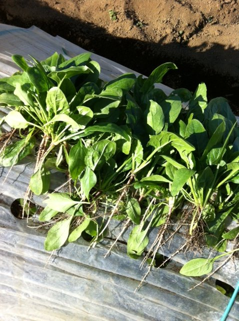 今朝は 白蕪の抜き菜・・・ホウレン草2種の収穫_c0222448_14171676.jpg