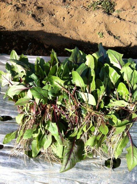 今朝は 白蕪の抜き菜・・・ホウレン草2種の収穫_c0222448_14172037.jpg
