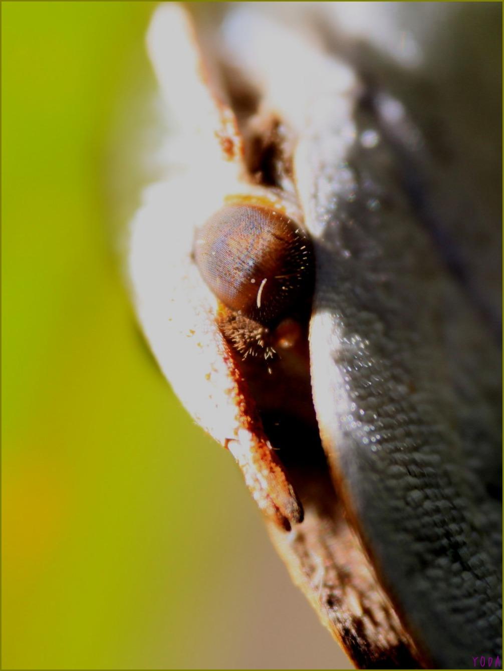 ウラギンシジミ 3連の越冬  2011.12.25栃木県_a0146869_6233871.jpg