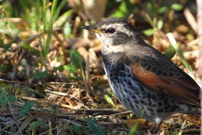 ★やっとツグミの姿が 先週末の鳥類園(2011.12.23~25)_e0046474_2331337.jpg