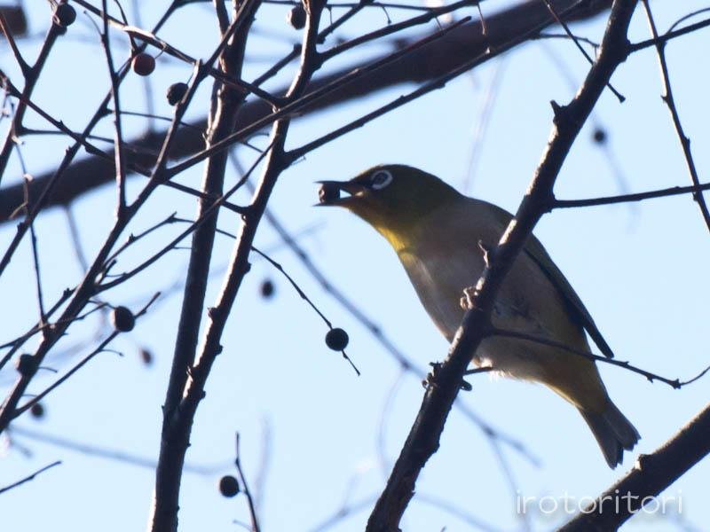 根川緑道 メジロ  2011/12/27_d0146592_23385294.jpg