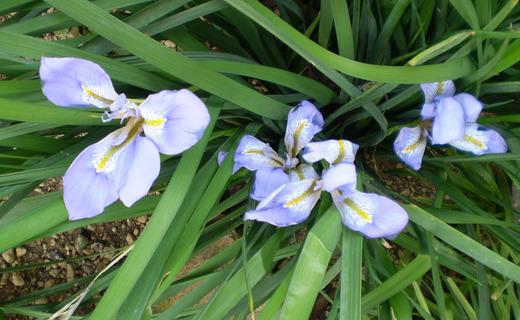 寒咲きアヤメの花、清々しく咲く!_f0139333_20545884.jpg