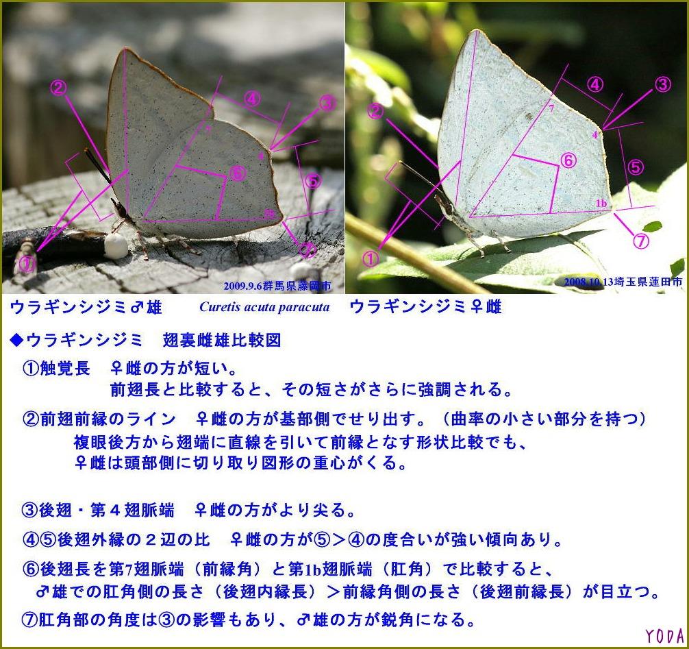 ウラギンシジミ  翅裏雌雄比較図Ver.1.0_a0146869_8524725.jpg