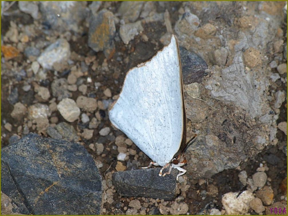 ウラギンシジミ  翅裏雌雄比較図Ver.1.0_a0146869_8541327.jpg
