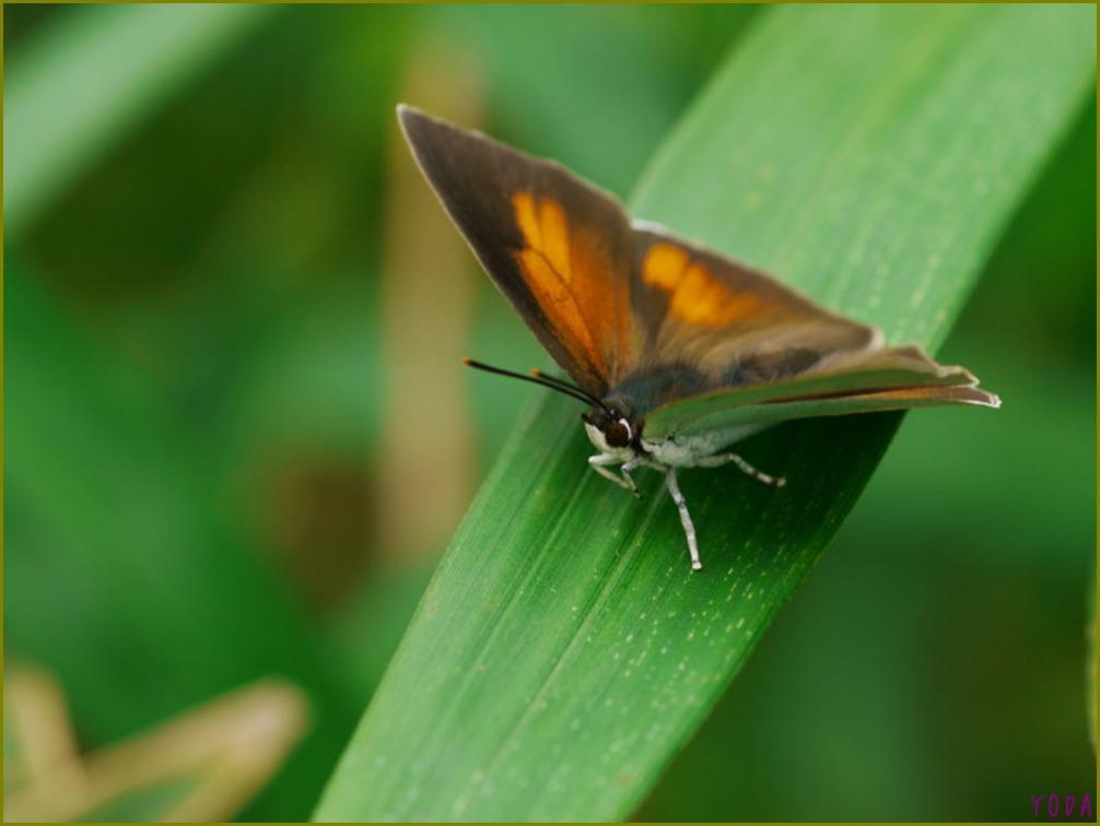 ウラギンシジミ  翅裏雌雄比較図Ver.1.0_a0146869_8544854.jpg