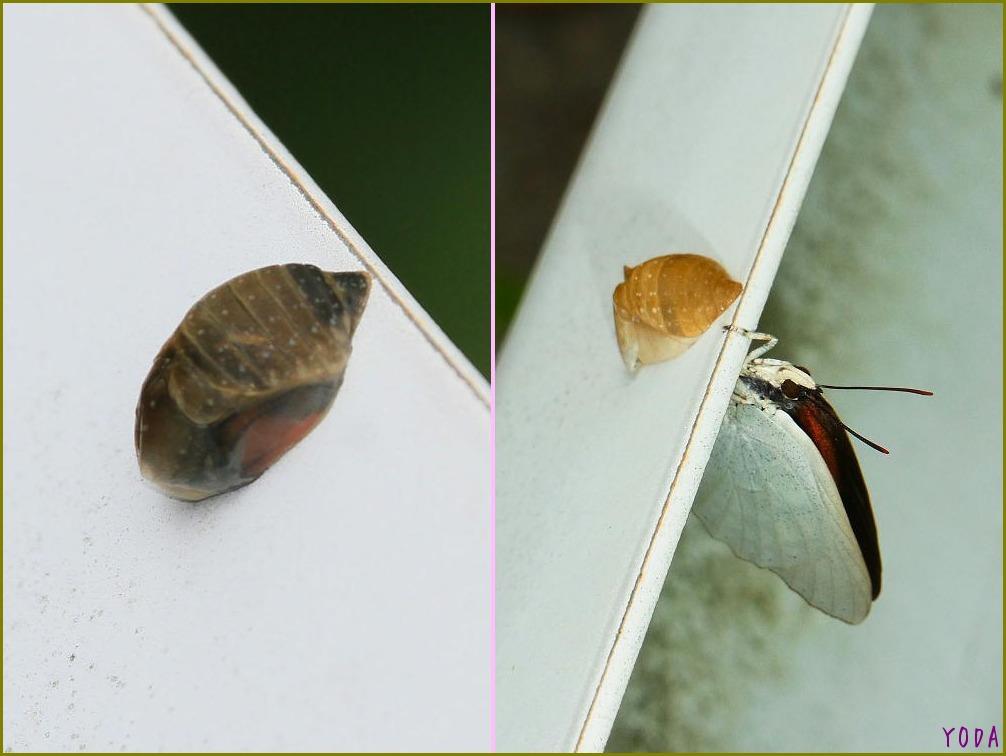 ウラギンシジミ  翅裏雌雄比較図Ver.1.0_a0146869_8551387.jpg