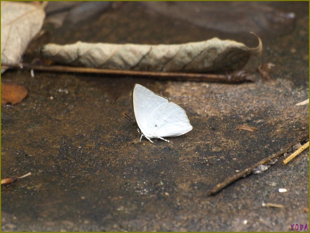 ウラギンシジミ  翅裏雌雄比較図Ver.1.0_a0146869_8555814.jpg