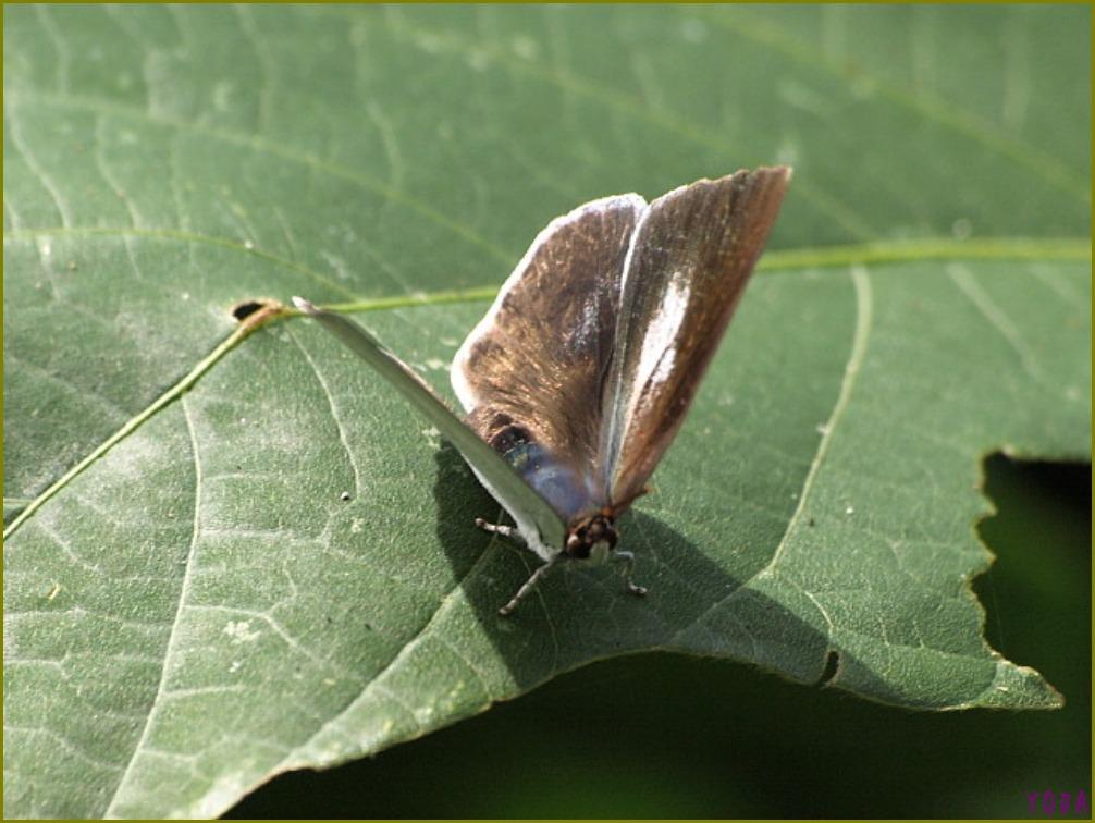 ウラギンシジミ  翅裏雌雄比較図Ver.1.0_a0146869_8562774.jpg