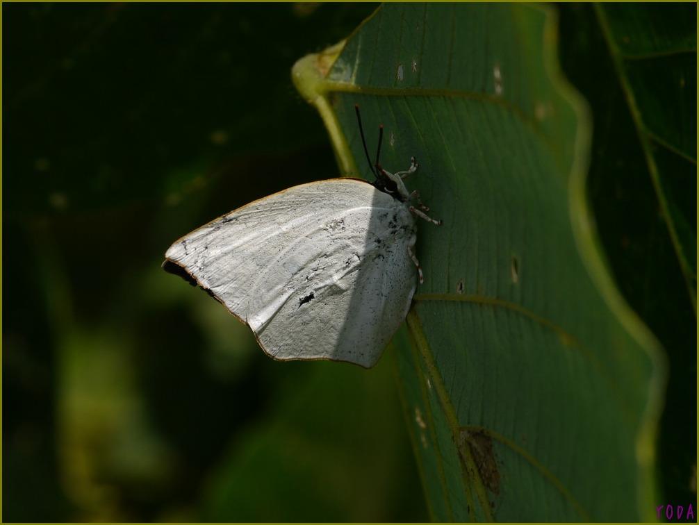 ウラギンシジミ  翅裏雌雄比較図Ver.1.0_a0146869_8565381.jpg