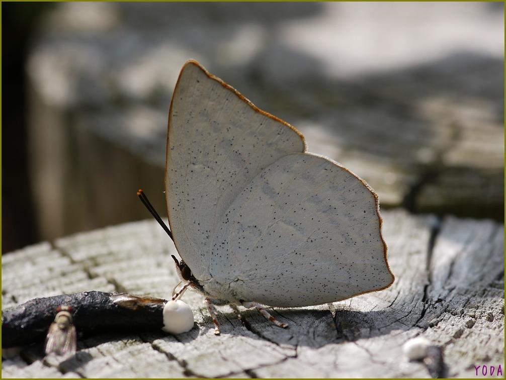 ウラギンシジミ  翅裏雌雄比較図Ver.1.0_a0146869_8572669.jpg