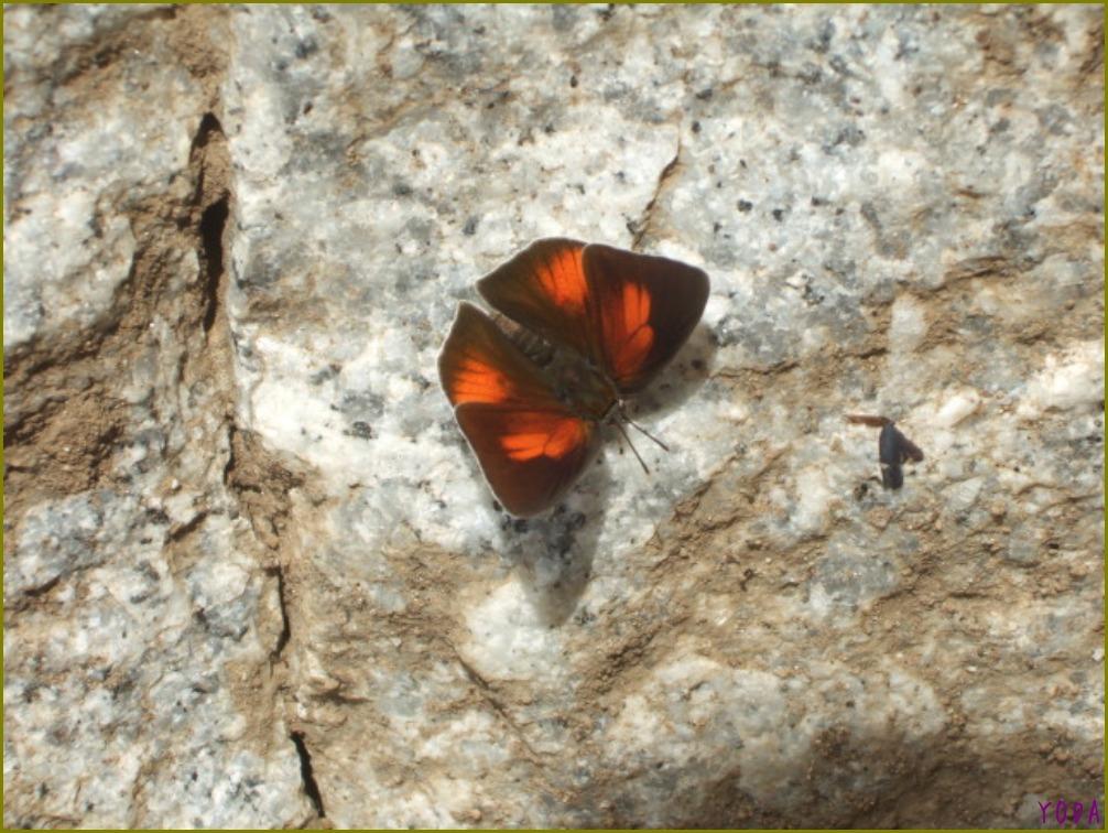 ウラギンシジミ  翅裏雌雄比較図Ver.1.0_a0146869_8583888.jpg