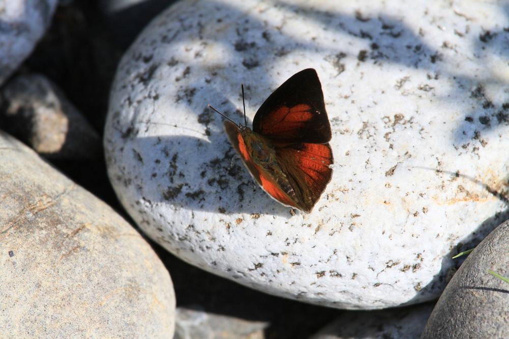 ウラギンシジミ  翅裏雌雄比較図Ver.1.0_a0146869_8591011.jpg