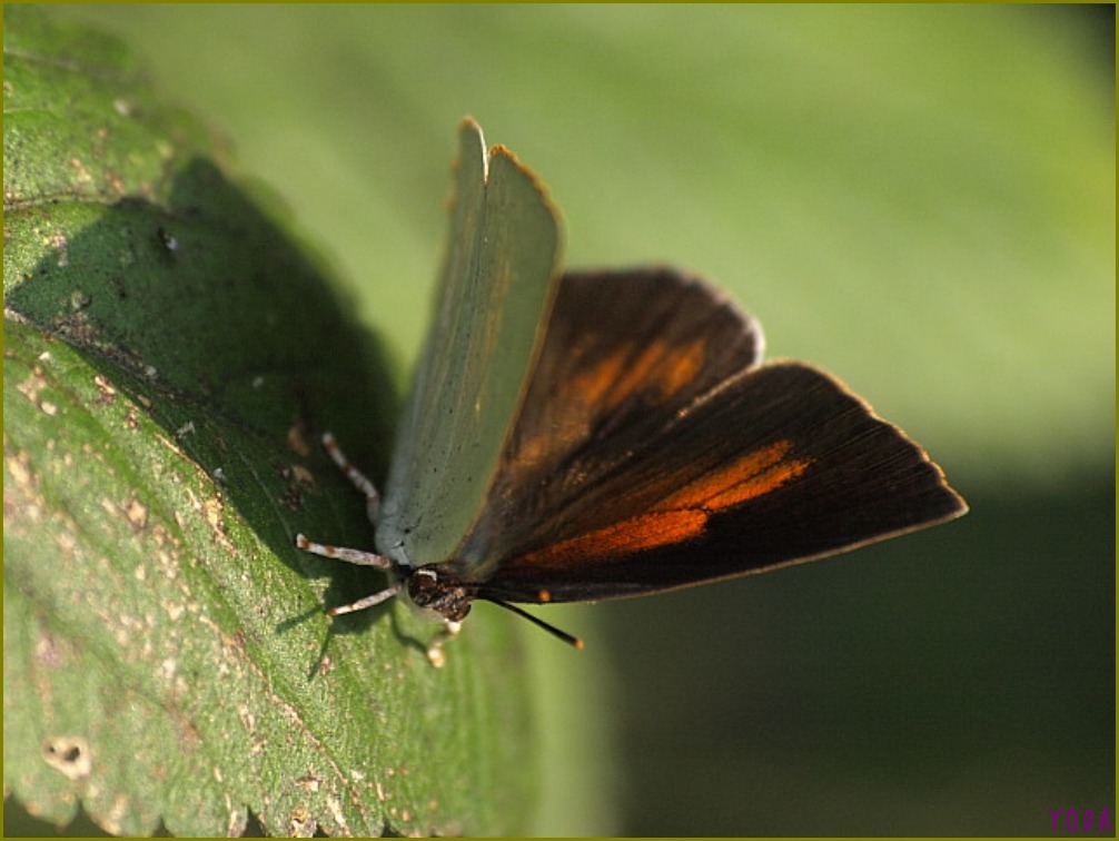 ウラギンシジミ  翅裏雌雄比較図Ver.1.0_a0146869_8595917.jpg