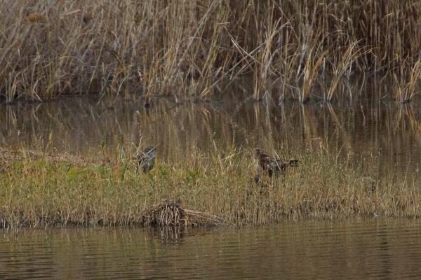 ★やっとツグミの姿が 先週末の鳥類園(2011.12.23~25)_e0046474_1173824.jpg