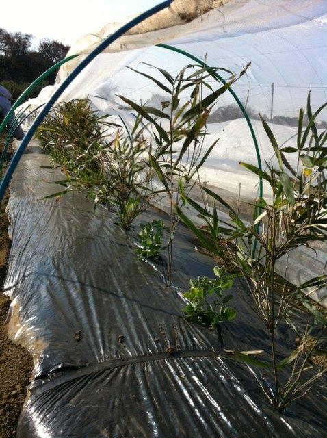 グリンピースやえんどう豆に山から切ってきた笹を立てます_c0222448_13261615.jpg