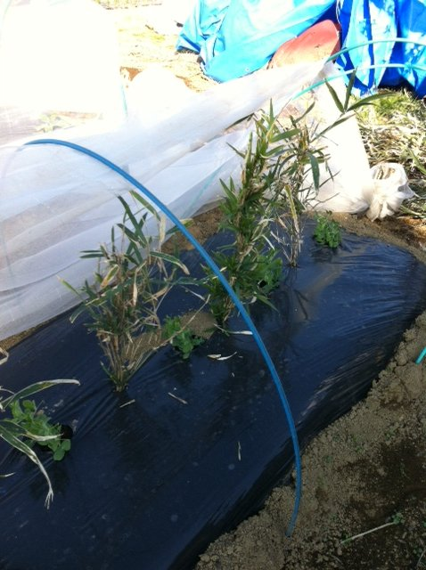 グリンピースやえんどう豆に山から切ってきた笹を立てます_c0222448_13262546.jpg
