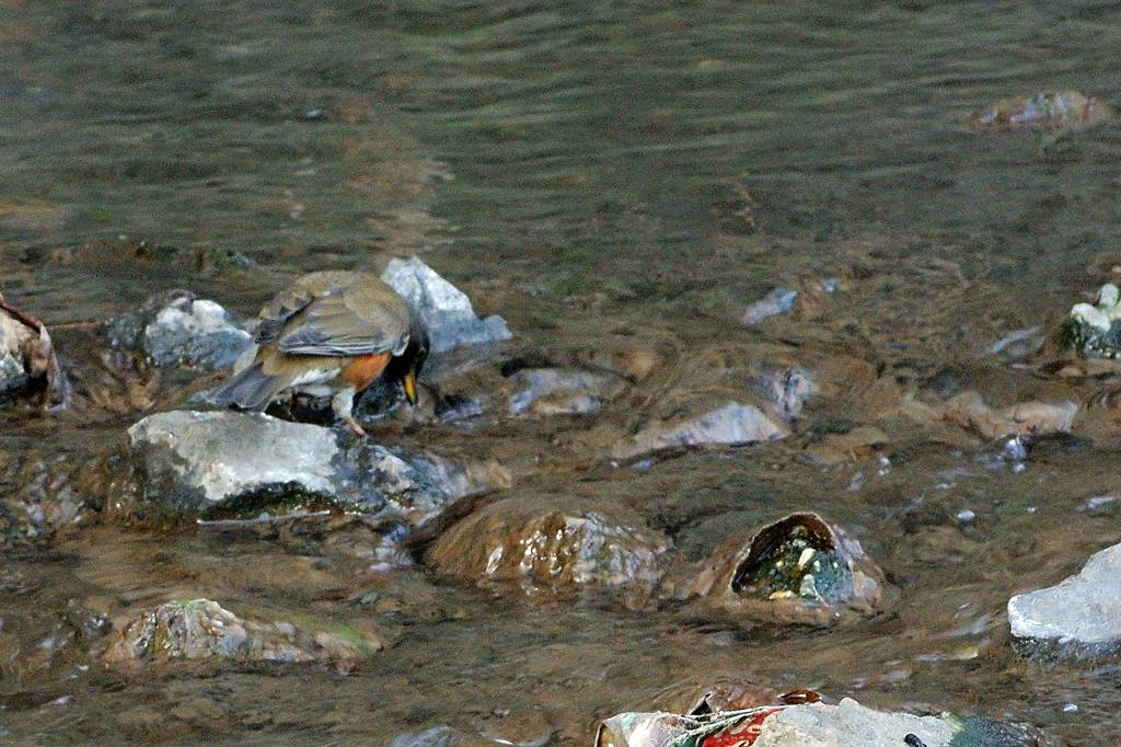 アカハラの超珍しいシーン/氷結した池のコガモ_b0024798_4434855.jpg