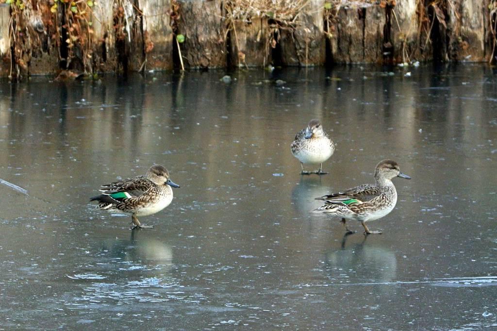 アカハラの超珍しいシーン/氷結した池のコガモ_b0024798_4435918.jpg