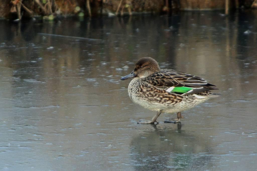 アカハラの超珍しいシーン/氷結した池のコガモ_b0024798_4441037.jpg
