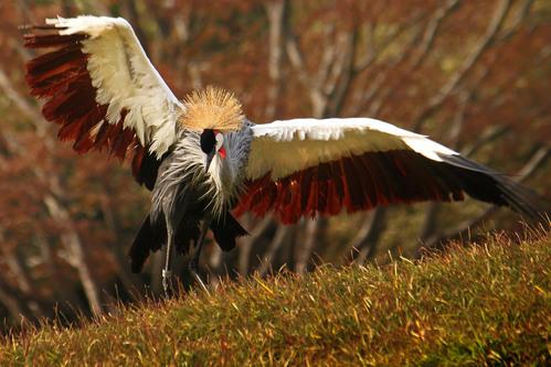 ホオジロカンムリヅル:Grey crowned crane_b0249597_720622.jpg