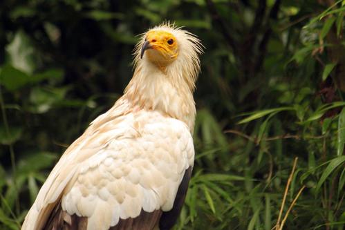 エジプトハゲワシ:Egyptian vulture_b0249597_735577.jpg