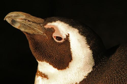 ケープペンギン:African Penguin_b0249597_615536.jpg