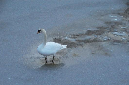 白鳥(1)_c0093046_19223334.jpg