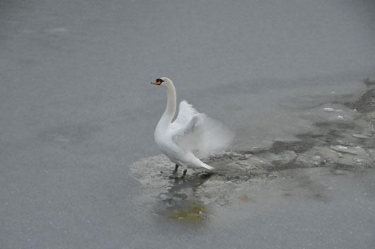 白鳥(1)_c0093046_1923949.jpg