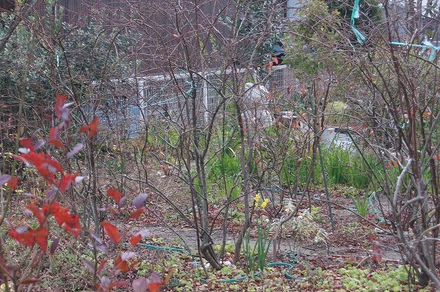 1月のブルーベリー畑_e0181373_19591169.jpg