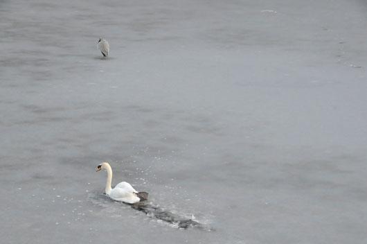 白鳥(2)_c0093046_7302249.jpg
