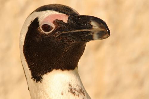 ケープペンギン:African Penguin_b0249597_5395753.jpg