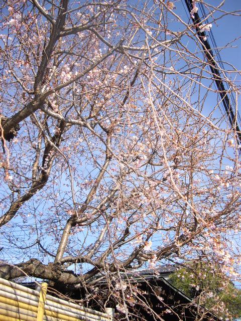 ひとあし先に桜のお便り。_d0116059_14212694.jpg
