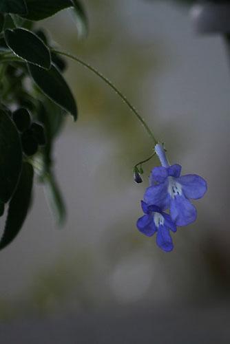 ストレプトカーバス、水中の花?_f0030085_20365063.jpg