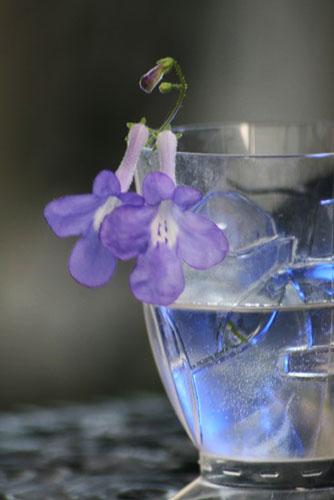 ストレプトカーバス、水中の花?_f0030085_20382070.jpg