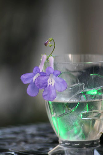 ストレプトカーバス、水中の花?_f0030085_20383647.jpg