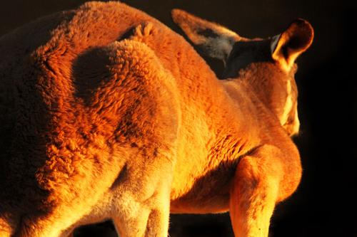 アカカンガルー:Red kangaroo_b0249597_5302634.jpg