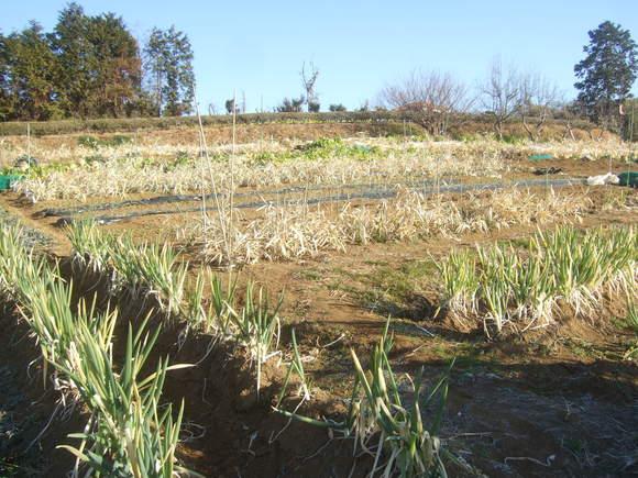 今年初めての野菜畑...雨が欲しい_b0137932_13254689.jpg