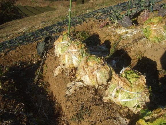 今年初めての野菜畑...雨が欲しい_b0137932_13262351.jpg
