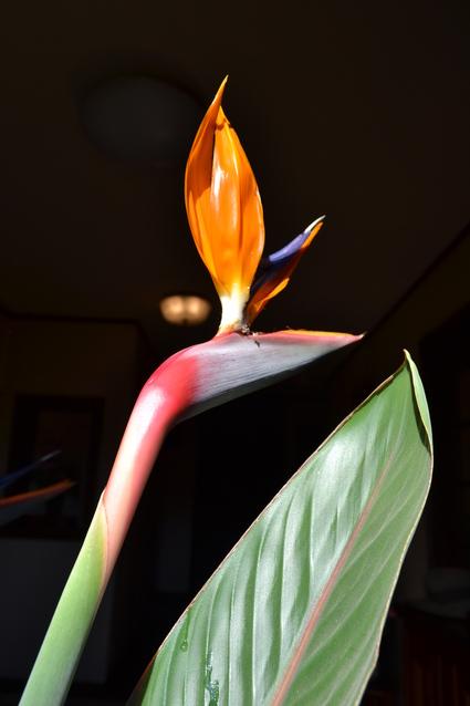 叔母の家に咲く極楽鳥花 2012_e0228938_1991763.jpg