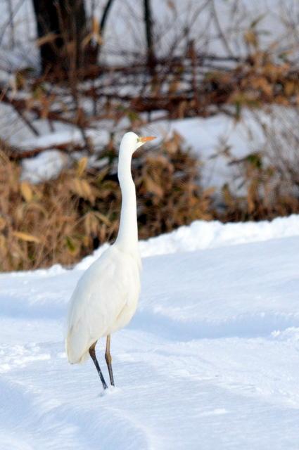 真冬の雪原にダイサギとオジロワシ。_b0165760_2204459.jpg