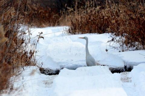 真冬の雪原にダイサギとオジロワシ。_b0165760_2214316.jpg